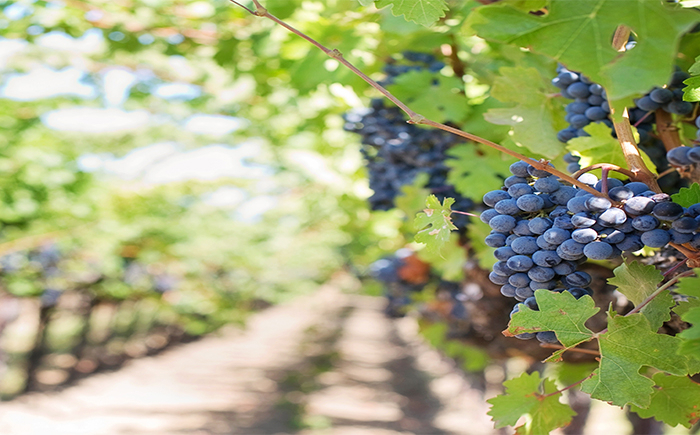 Grapes May Be Beneficial Against Coronavirus Research Suggests