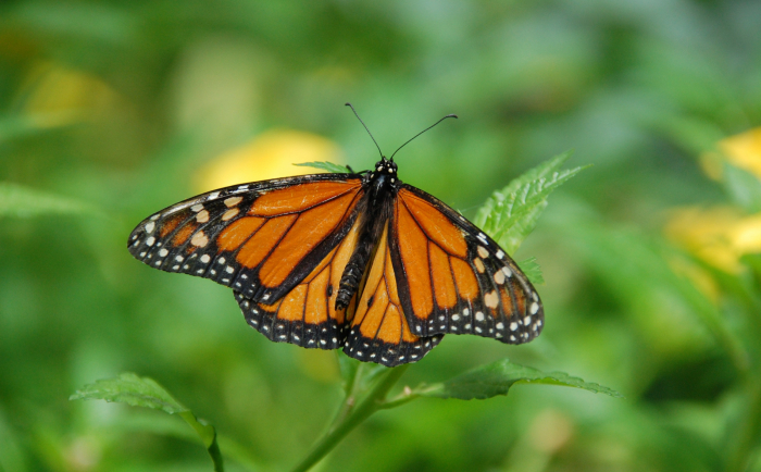 Monarch Butterflies Become Candidate For Endangered Species Listing